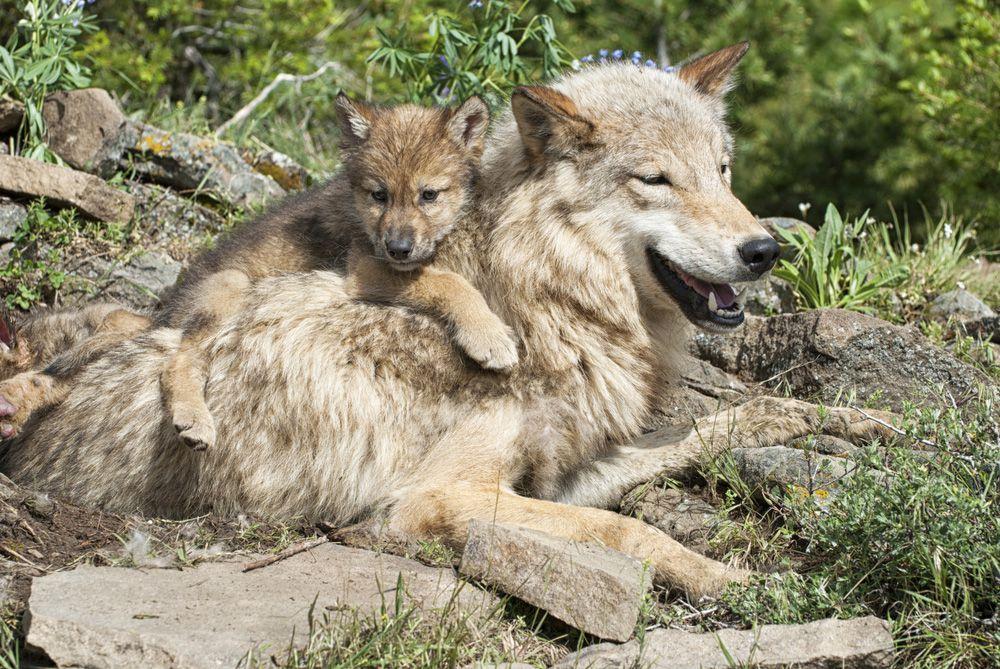 Imagen de lobo con cachorro