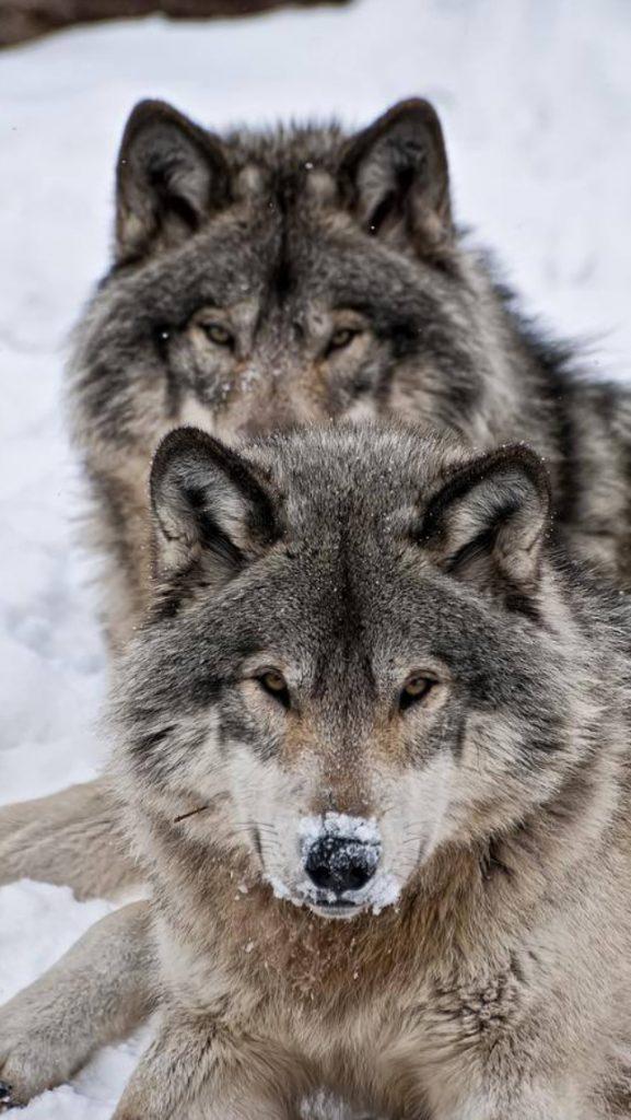 fotos de hombres lobo para descargar