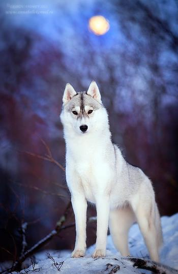 fotos de lobos para descargar gratis