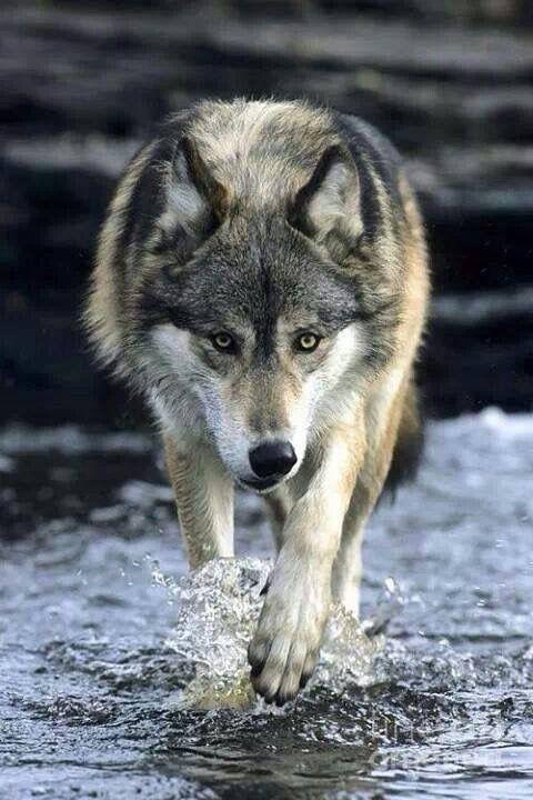 descargar imagenes de lobo solitario