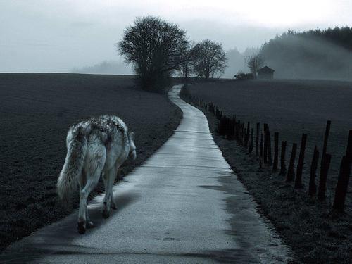 imagenes de lobos solitarios tristes