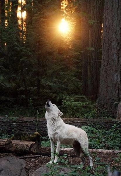 imagen de lobos solitarios