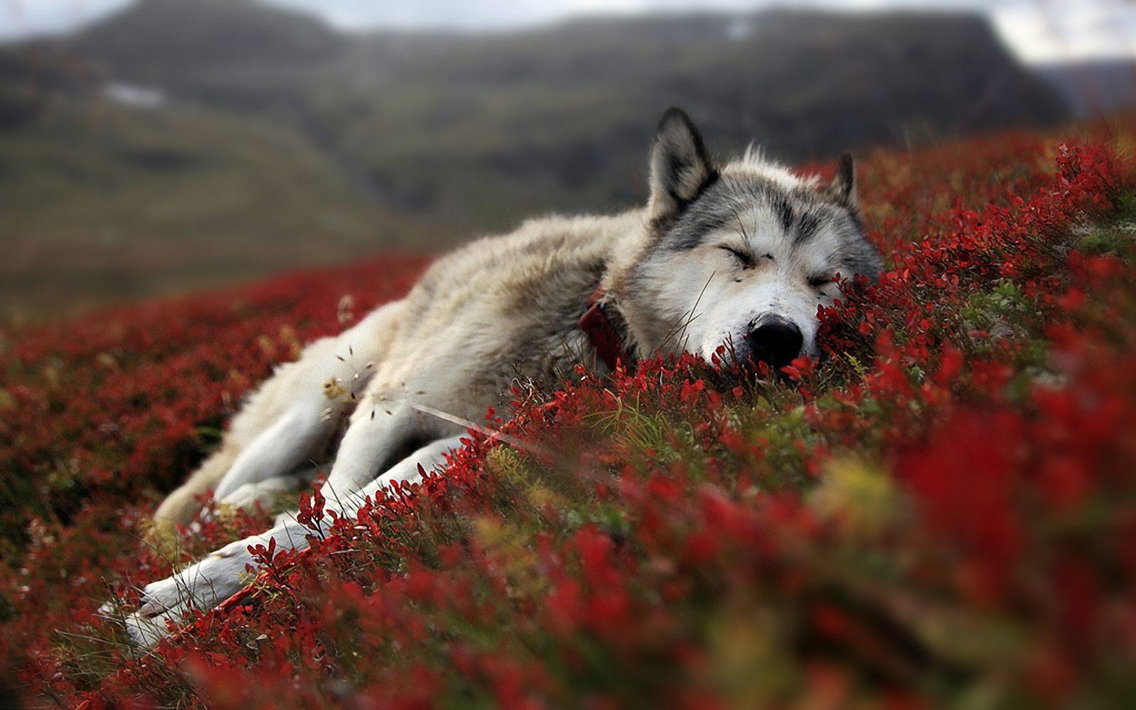 Imagen de un lobo Durmiendo