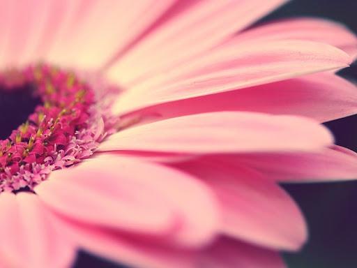 Fondo HD de una flor rosada