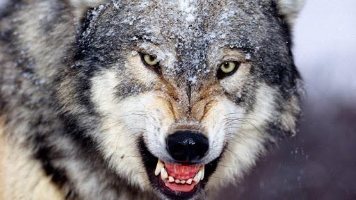 fondo de lobo dispuesto a atacar