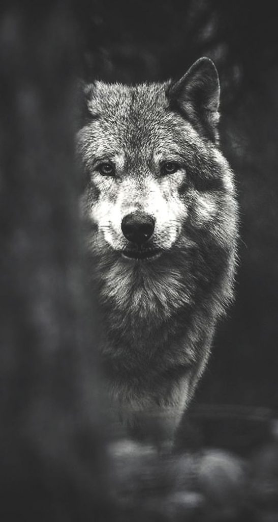 wolf wallpaper hd iphone