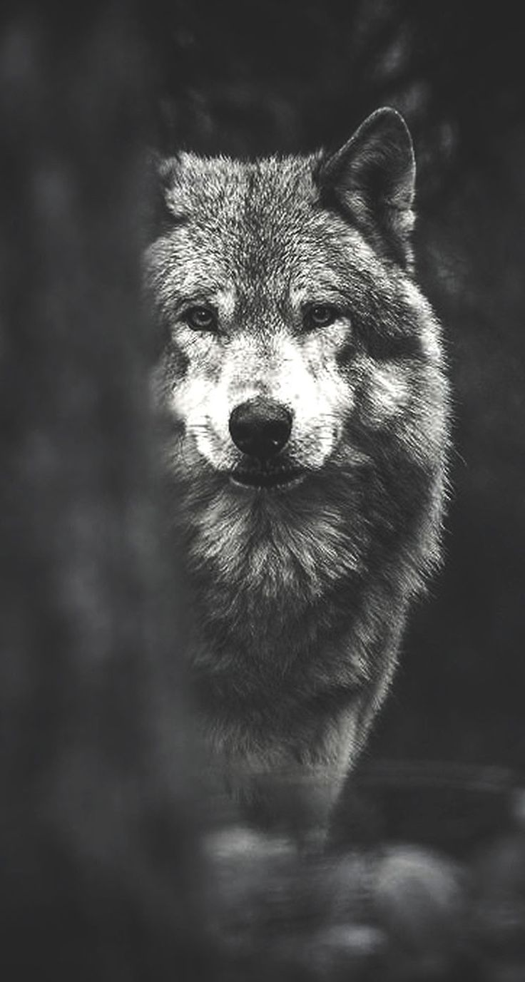 Fondos de pantalla de lobos HD | Fondos de Pantalla Wallpaper Hd Wolf