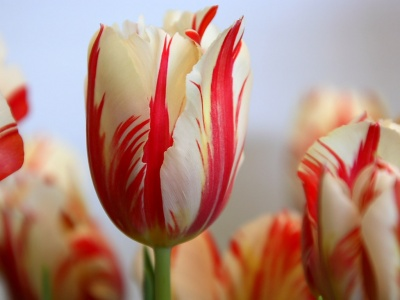 Wallpapers tulipanes rojos