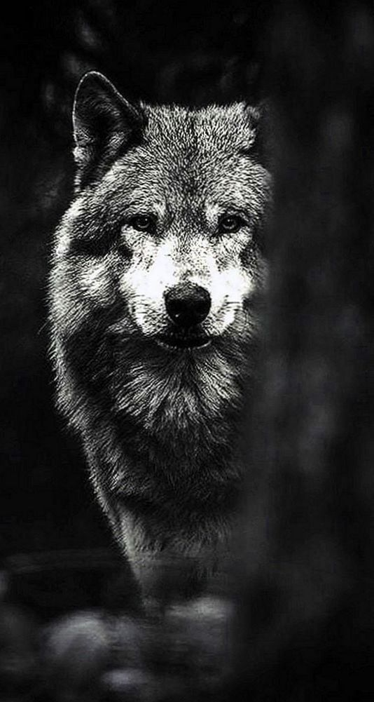 Lobo Wallpaper