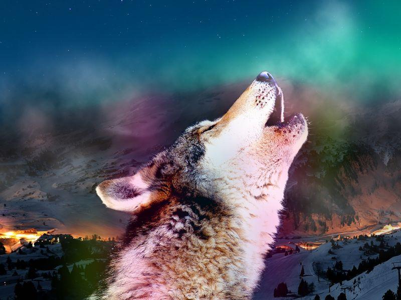 Fondos de pantalla de lobos en movimiento