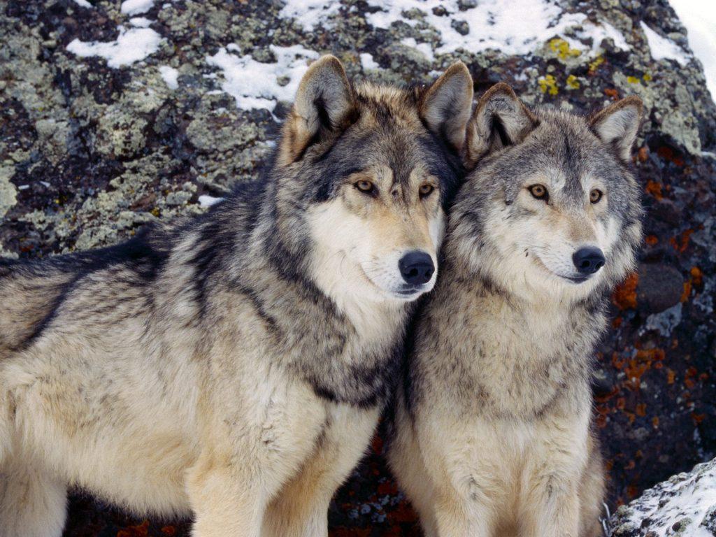 imagenes de lobos enamorados para colorear