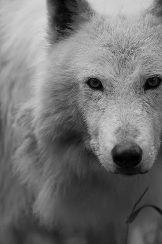 Imágenes de lobos para fondo de celular