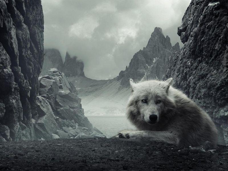 Fondos de escritorio hd lobos