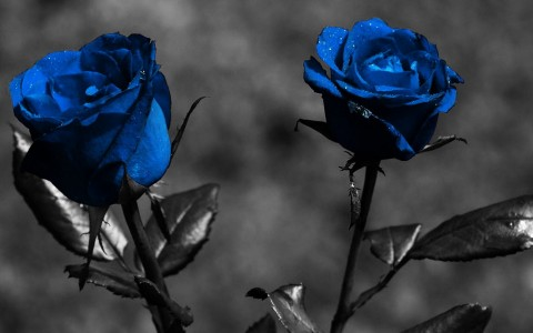 Wallpaper de rosas gratis
