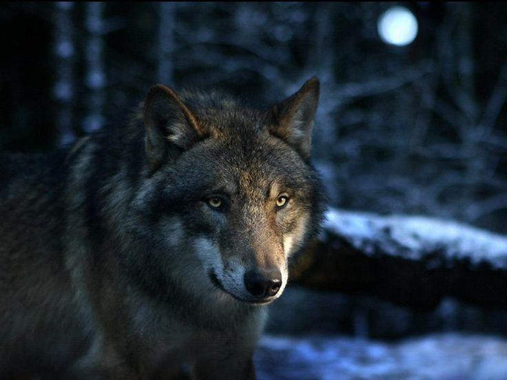 fondos de lobos 3d