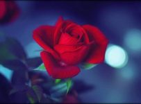Wallpaper de rosas hermosas