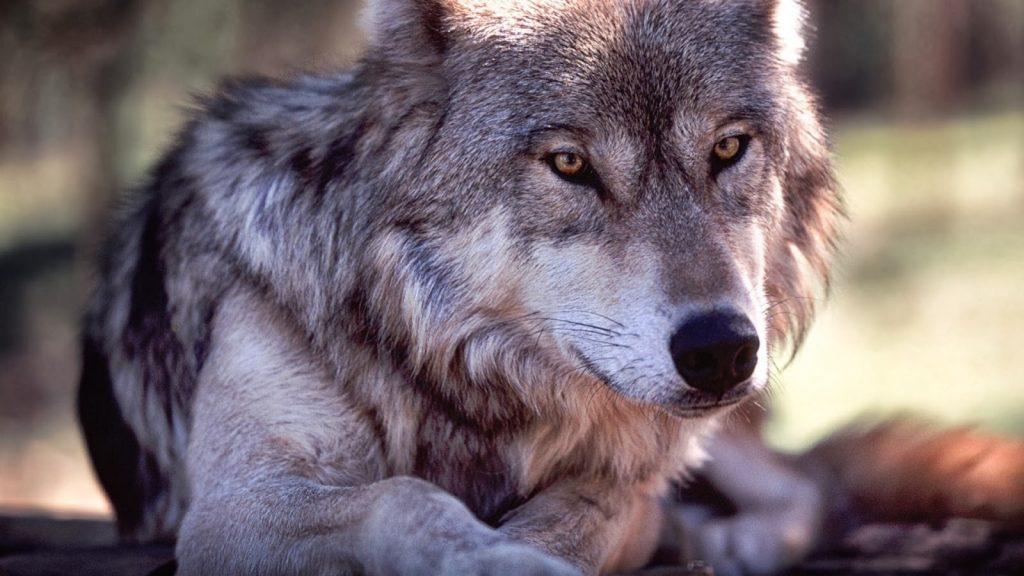 fondo de pantalla de lobos en movimiento