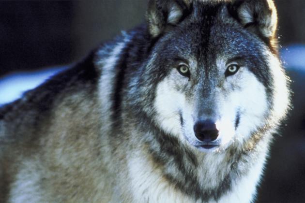 imagenes de lobos salvajes para colorear