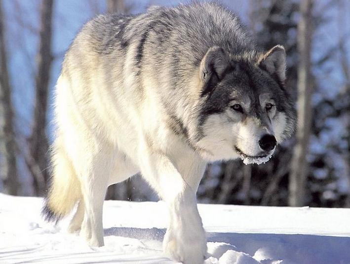 las mejores imagenes de lobos blancos