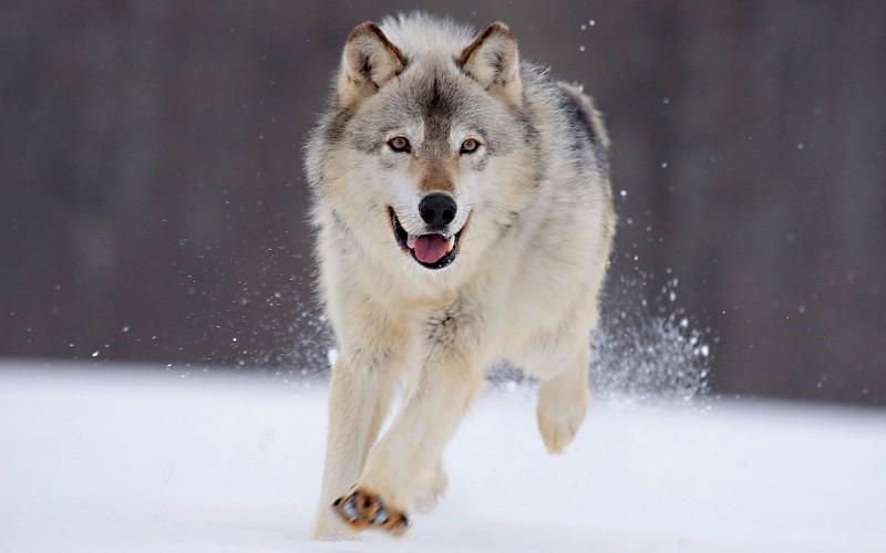 Fondos de pantalla lobos en la nieve