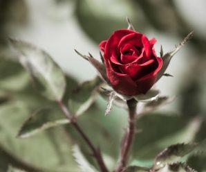 Wallpapers full hd rosas