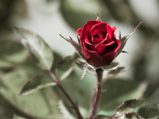 Wallpapers full hd rosas