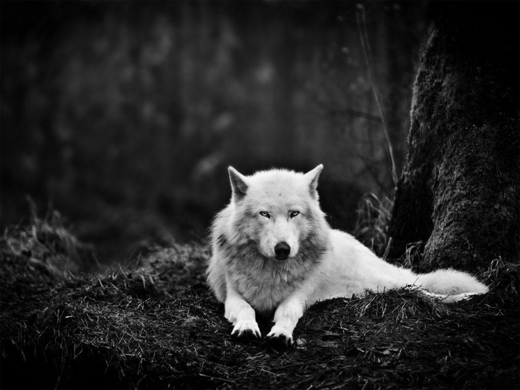 fondos de pantalla de lobos tumblr