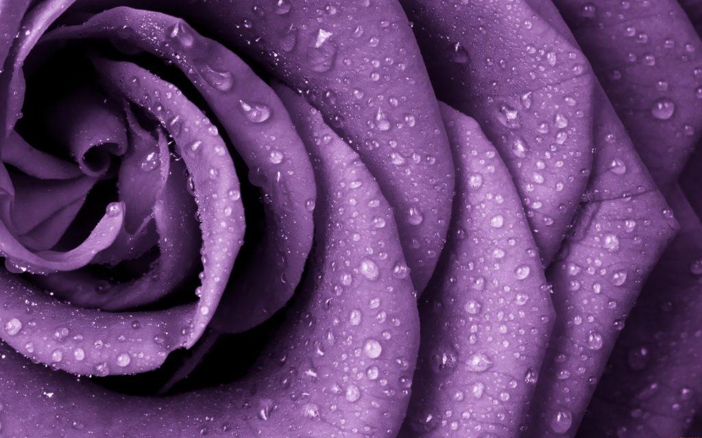 imagenes de rosas moradas