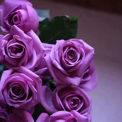imágenes de rosas moradas hermosas