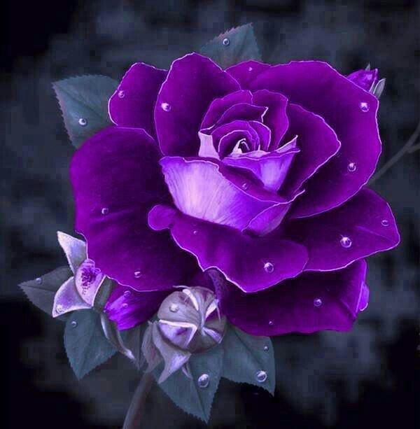 fondos de pantalla de rosas moradas