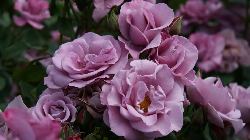 Wallpapers rosas moradas