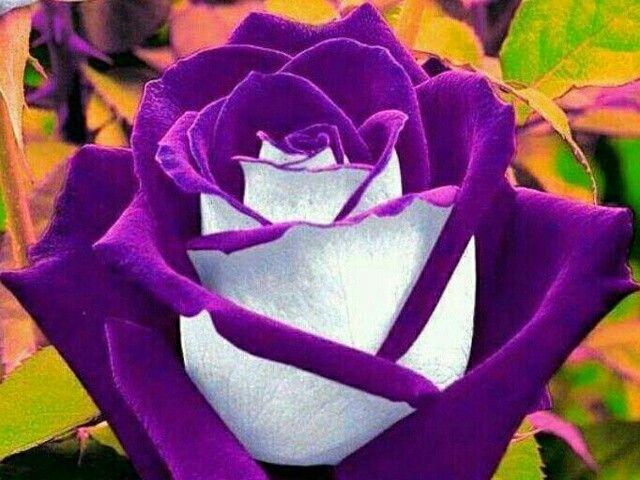 Rosas moradas hermosas