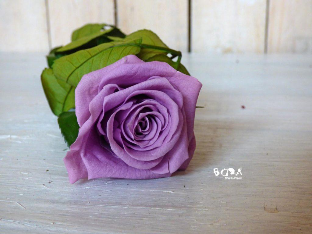 imagenes de rosas moradas bonitas