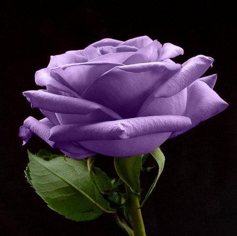 existen las rosas moradas naturales