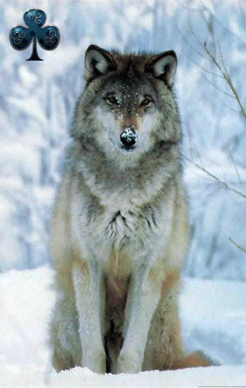 fondos de pantalla para celular de lobos