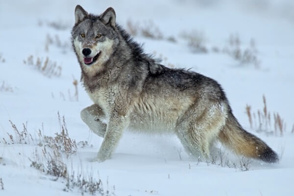 fotografias de lobos siberianos