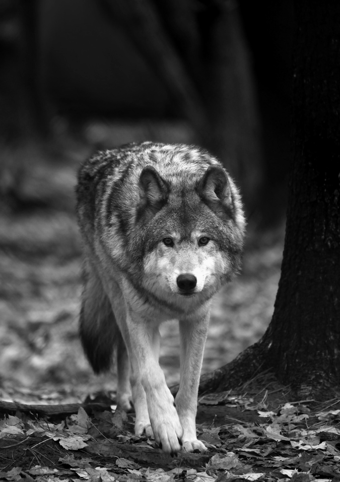 fondos de pantalla celular lobo
