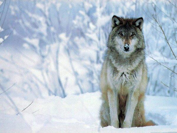 fotos lobos salvajes