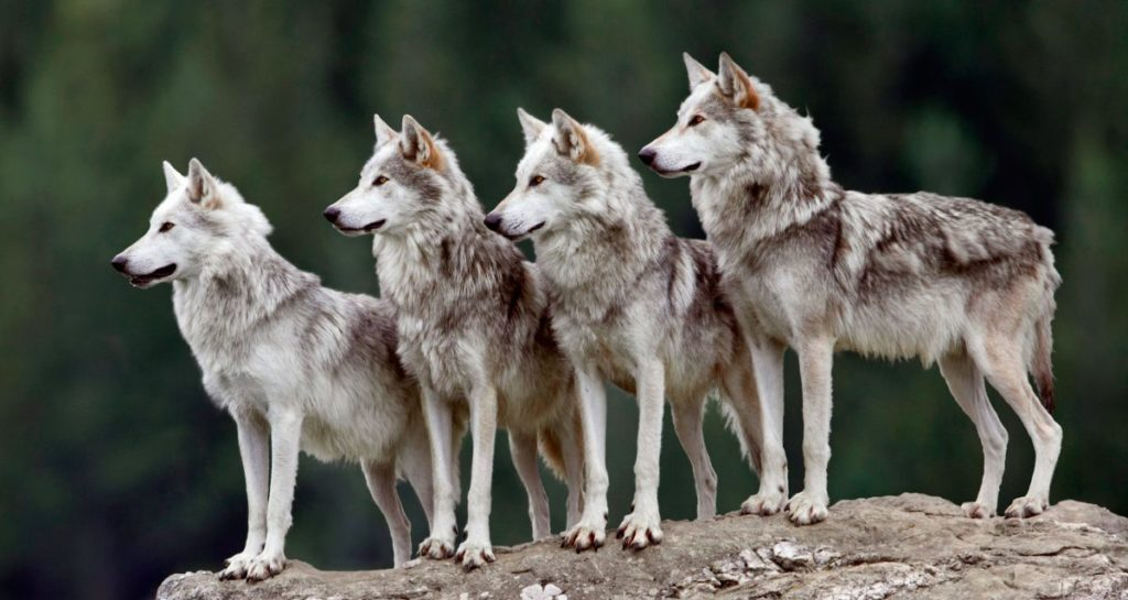 lobos fotos gratis