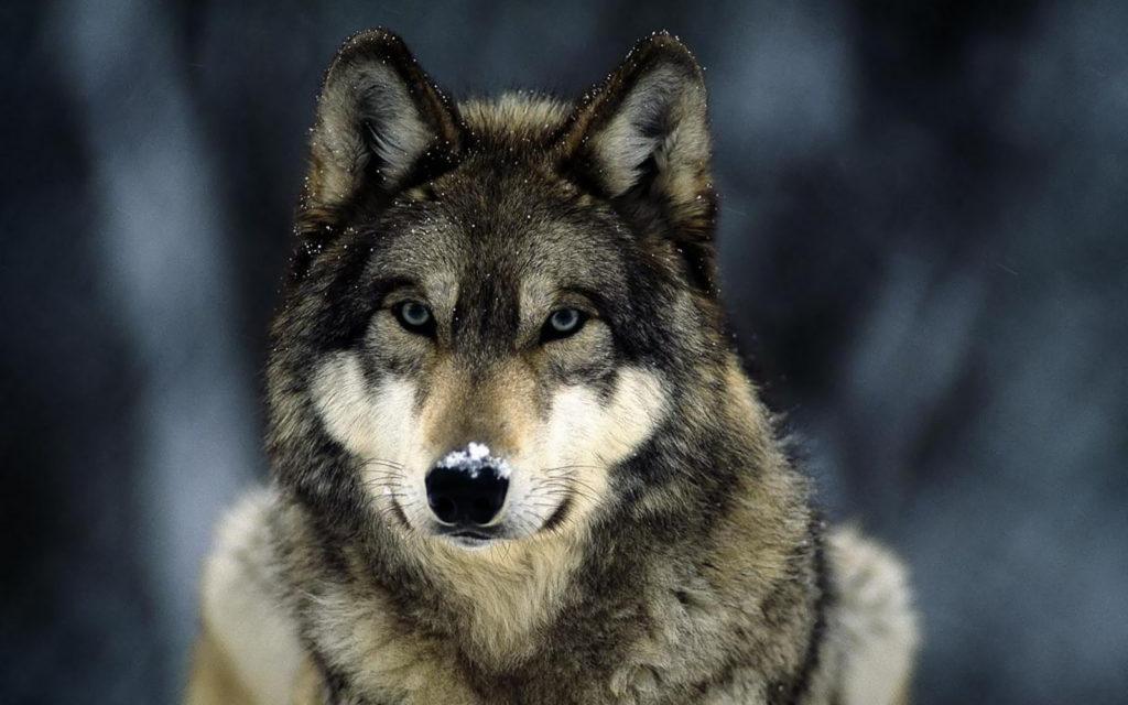 fotos de lobos para fondo de pantalla