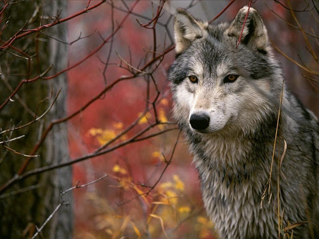 wallpapers de lobos salvajes