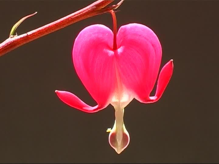 imagenes de la flor corazon sangrante