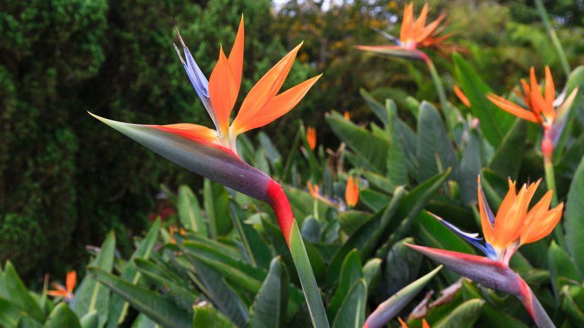 flores ave del paraiso imagen