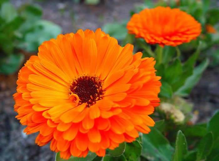 flores secas de caléndula