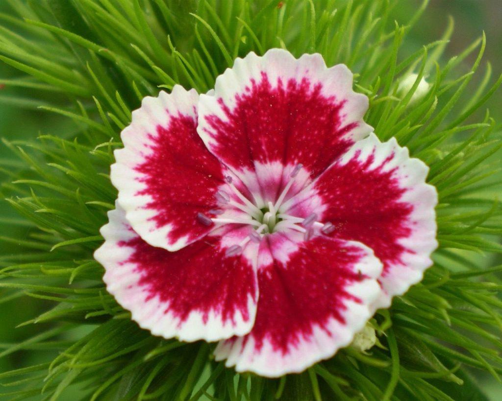 flores clavel significado