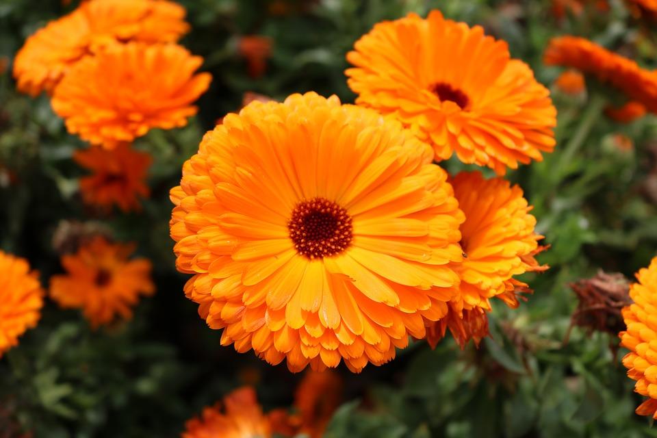 flores comestiveis calendula