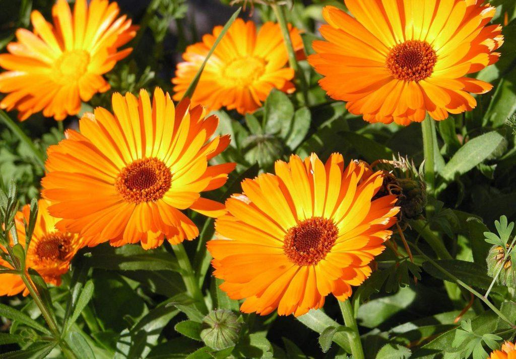 flores de calendula cha