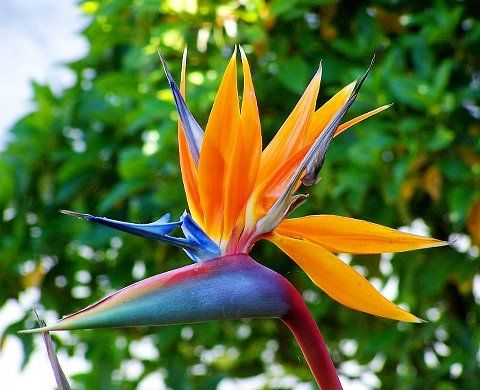 flores parecidas al ave del paraiso
