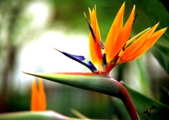 flor ave del paraiso precio