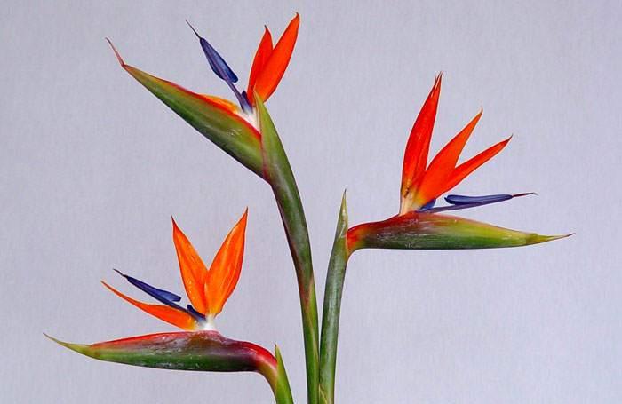 flor ave del paraiso comprar